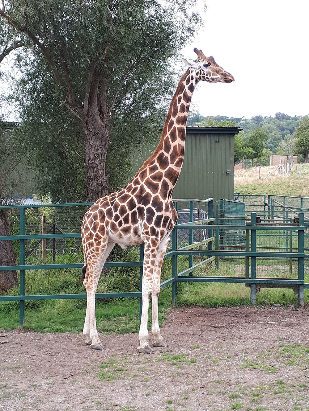 We visit the zoo and we saw some girafes